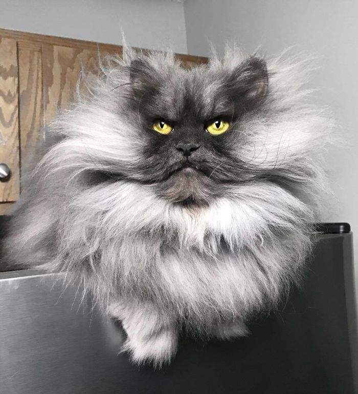 Mister Pushistaya Svarlivost Kot S Fantasticheskoj Pricheskoj Angry Cat Cats Himalayan Cat