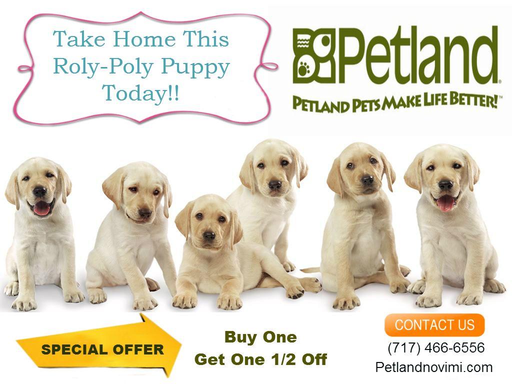 Buy A Petland Puppy In Novi Michigan Labrador Dog Cute Dogs Images Labrador Funny