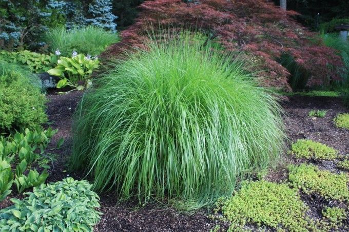 Pennisetum alopecuroides 'Hameln':  Fountain Grass Deer Resistant  Green foliage with tassels that emerge rosy and turn a coppery tan.
