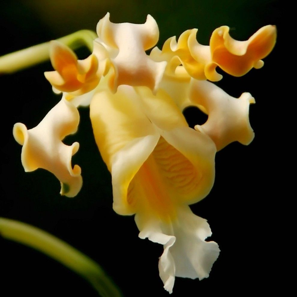 Strange yellow orchid orchids 꽃 pinterest yellow orchid