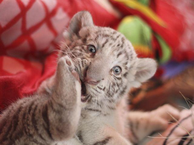 primer tigre de bengala blanco nacido en cautiverio