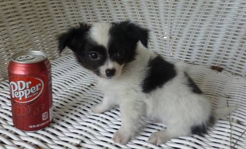 Chihuahua Black White Long Hair Male Puppy Long Haired Chihuahua