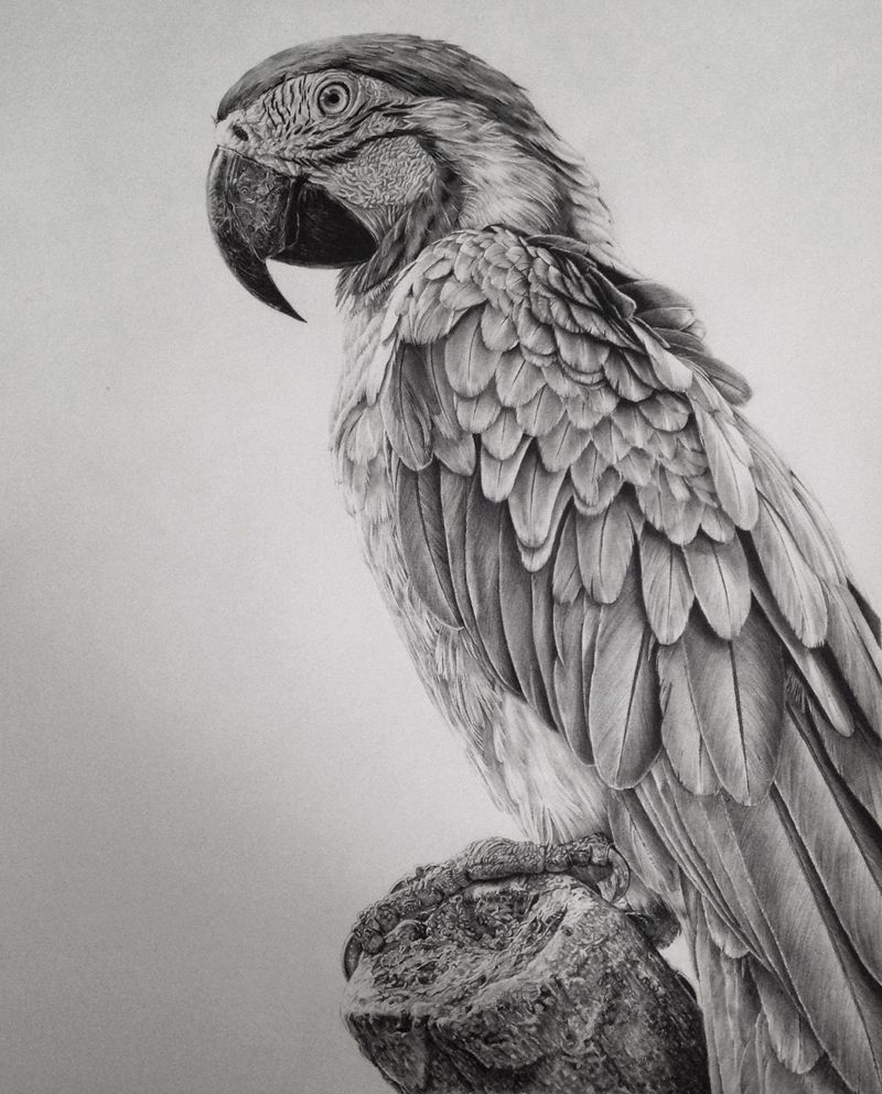 Dessin perroquet ara bleu animaux pinterest - Perroquet dessin ...