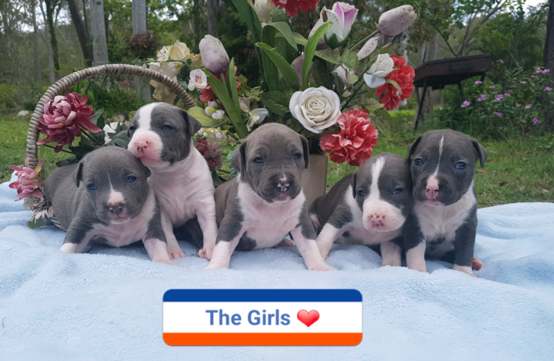 A Blue Staffie wouldnt go astray either ) Staffy pups
