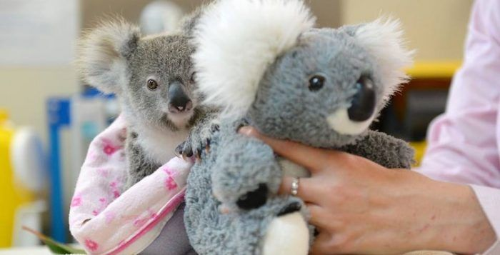 Stuffed Koala Brings Comfort to Orphaned Baby Look-Alike
