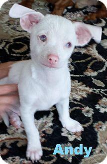 Gilbert, AZ Italian Greyhound/Chihuahua Mix. Meet Andy
