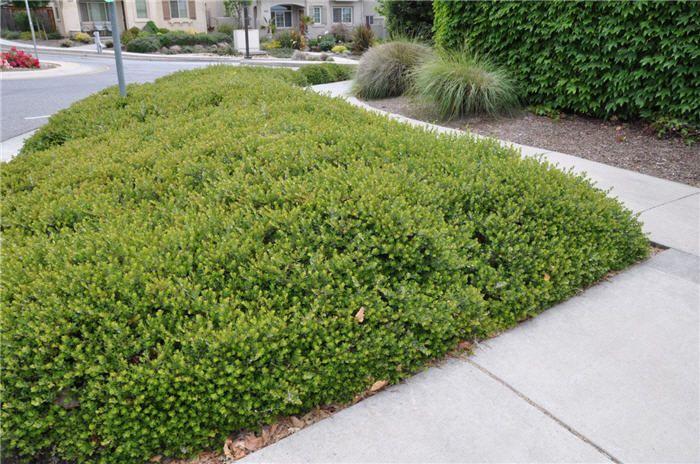 Arctostaphylos Emerald Carpet California Native Garden California Native Plants Lawn Alternatives
