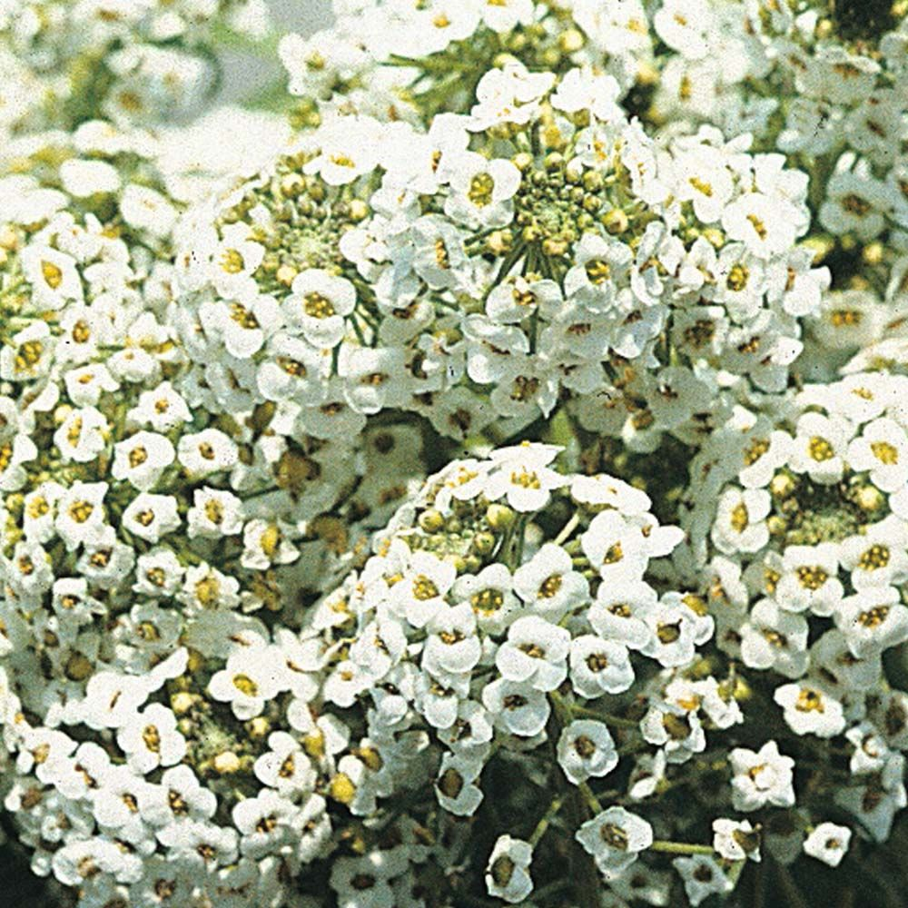 Alyssum 'Sweet White' Hardy Annual Seeds Thompson