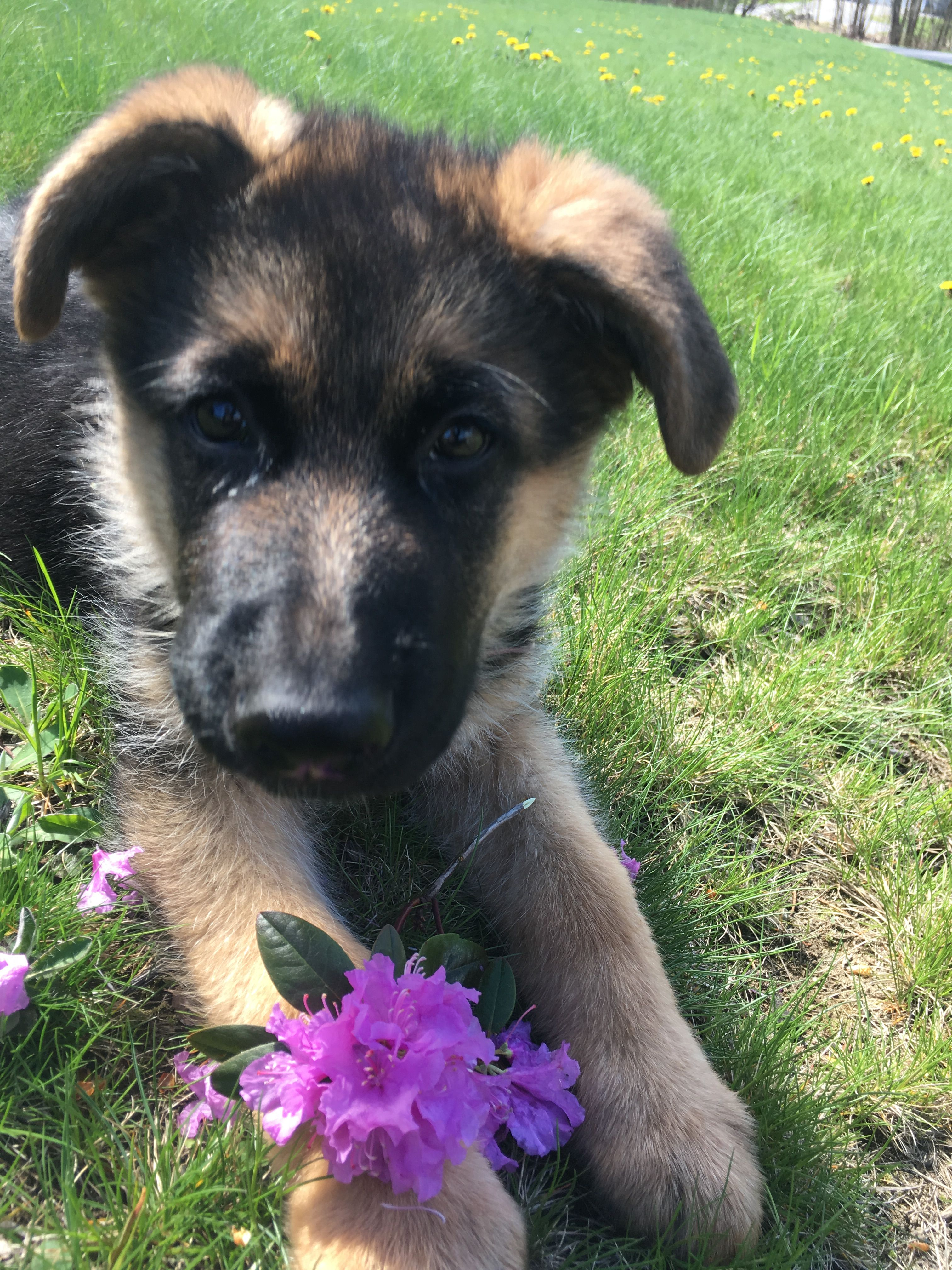 German Shepherd Puppy Summer Time Flowers Gsd Puppies German