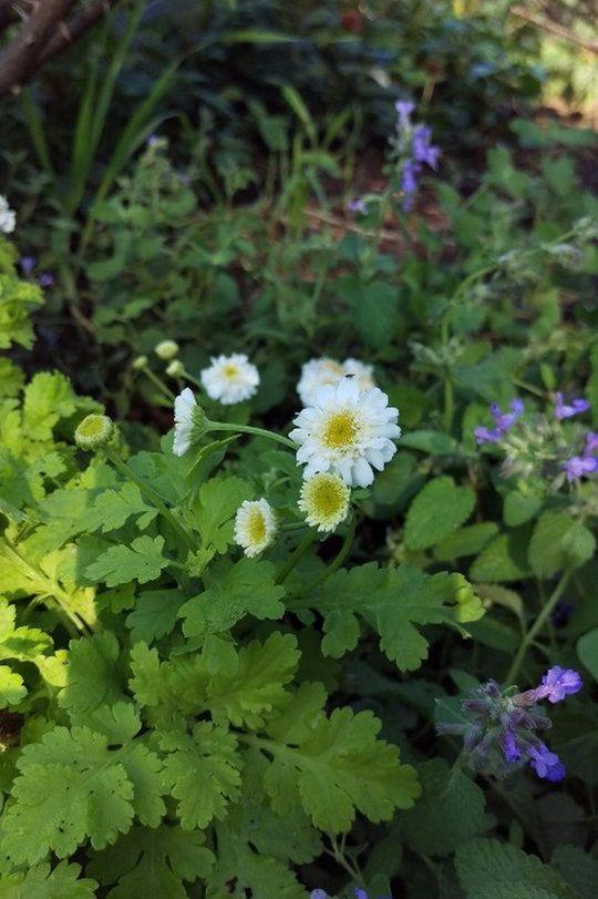 Feverfew Double Golden Midsummerherbs Feverfew Plant Feverfew Medicinal Plants