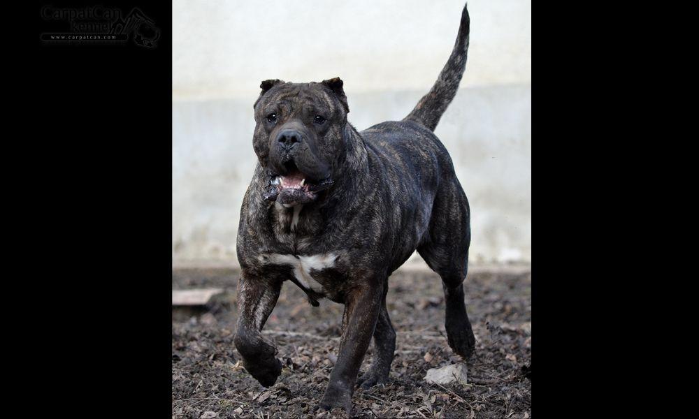 Carpatcan Kennel Presa Canario Dogo Canario Presa Canario Best Guard Dogs Dogs