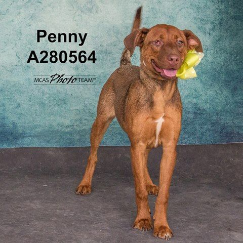 12/30/16-Conroe, TX - I'M SPECIAL BECAUSE: I'm missing an eye but that never gets me down! Penny, ID: A280564 Location: BLUE Female, Labrador Retriever Mix, 1 Year Old, 45 lbs, HW Neg