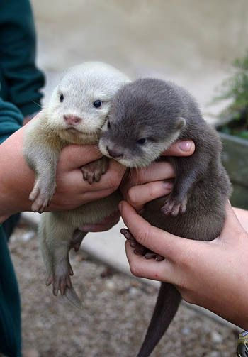 So adorable! Baby otters:)
