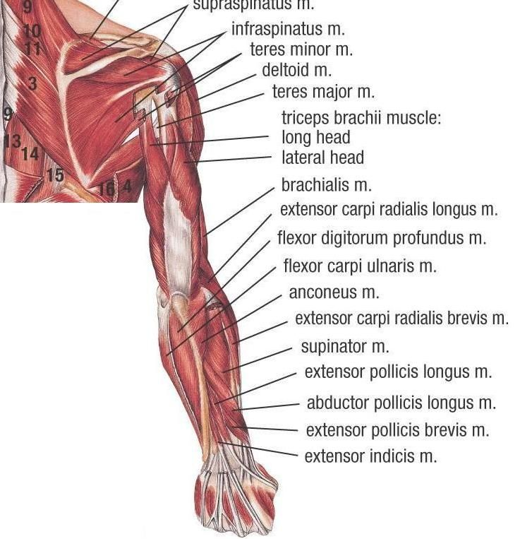 Upper arm anatomy muscles