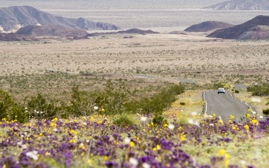 In pictures death valleys wildflower super bloom death valley death valley wildflower super bloom mightylinksfo