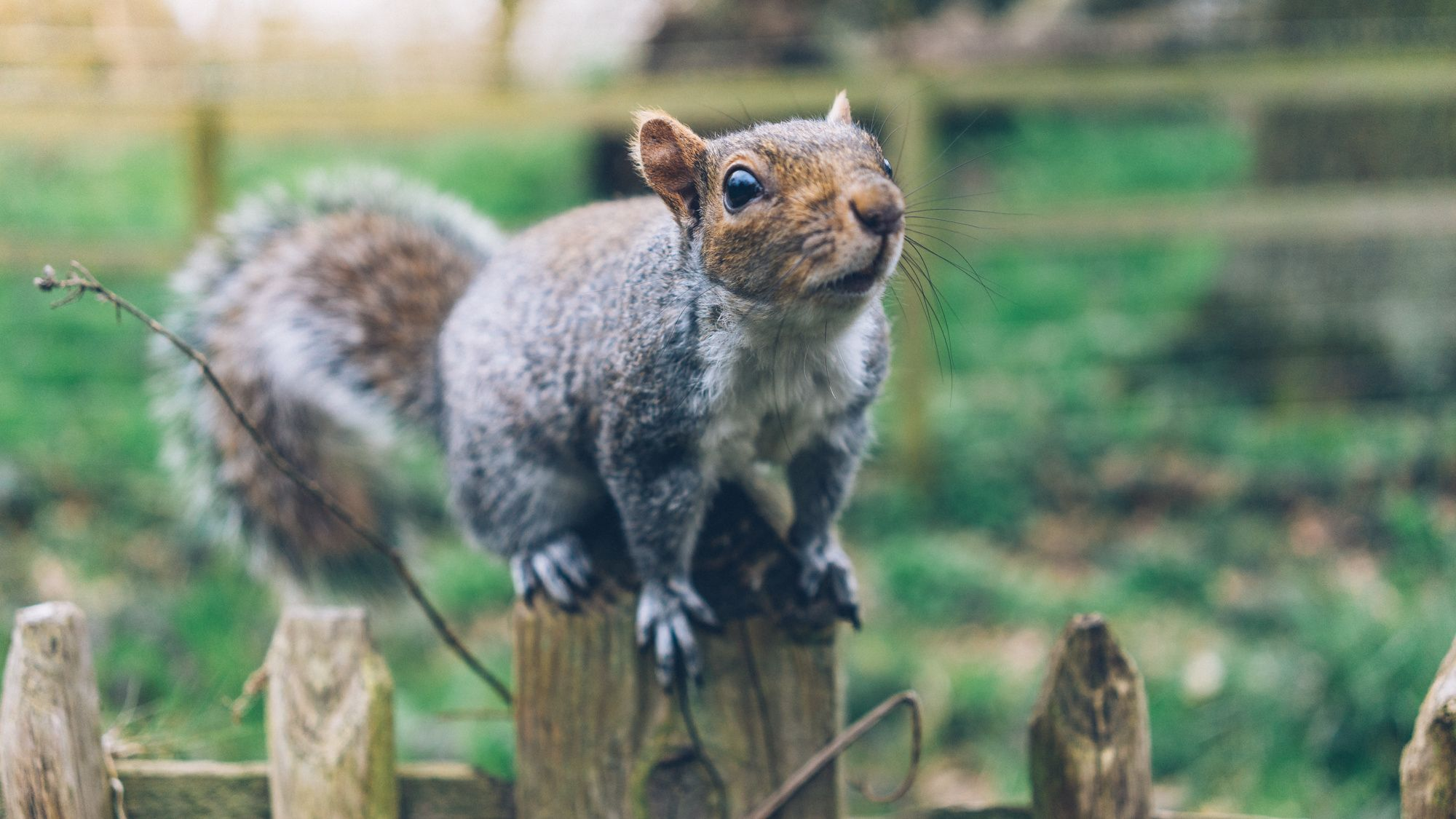 Photograph Grey Squirrel, Holland Park by Tiago Higgs on 500px