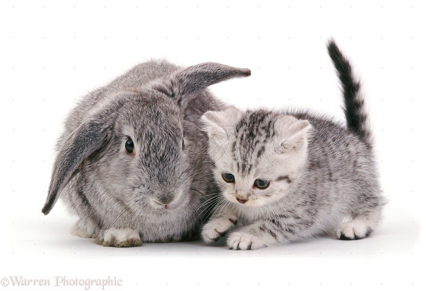 British Shorthair Silver Spotted Kitten 8 Weeks Old With Silver Lop Rabbit Cute Animals Animals Cute Cats