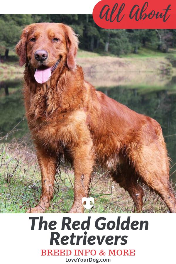 Red Golden Retrievers Color Controversy Puppy Cost More Golden Retriever Red Golden Retriever Dark Golden Retriever