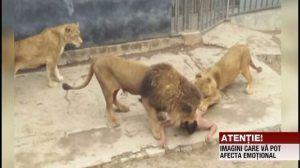 CAZ INCREDIBIL. Un bărbat a intrat în cuşca leilor pentru a se sinucide VIDEO