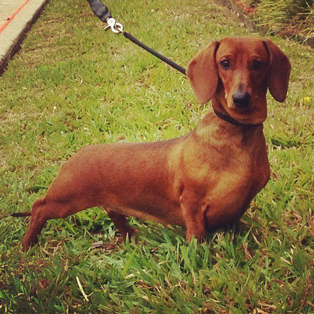 Lola Our Red Smooth Standard Dachshund Girl Weiner Dog Dachshund