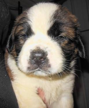 Our Akc Saint Bernard Are Priced Females 750 00 With Limited