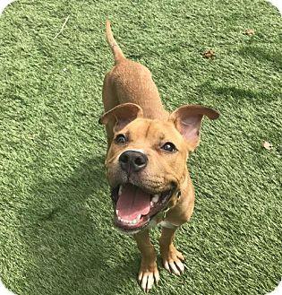 raytown, MO Boxer Mix. Meet Biffle, a dog for adoption