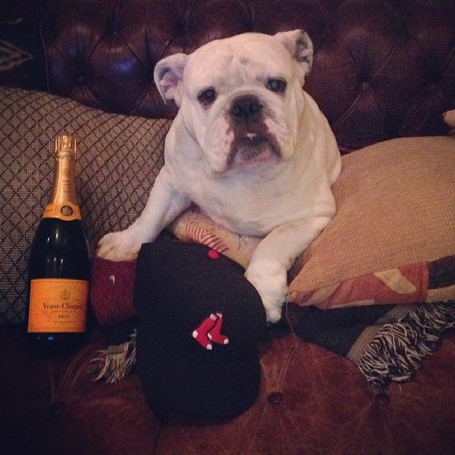 World series Blute popping bottles!!! #worldseries #redsox #bulldogsofinstagram #bulldog #blutothebulldog #bulldogs #englishbulldog #englishbulldogs #igbulldogs_socal #igbulldogs_worldwide #Padgram
