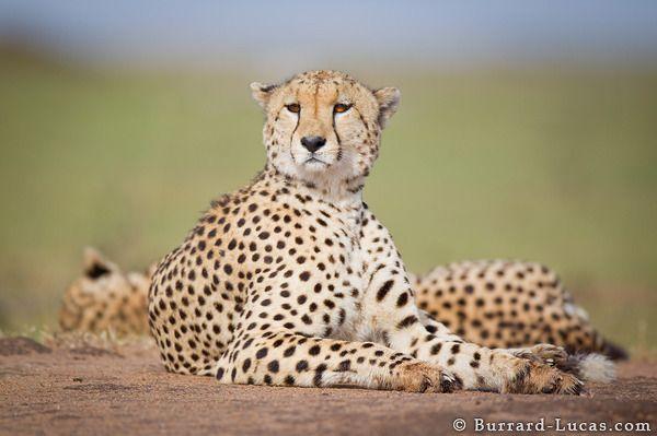 Resting Cheetah - Burrard-Lucas Photography