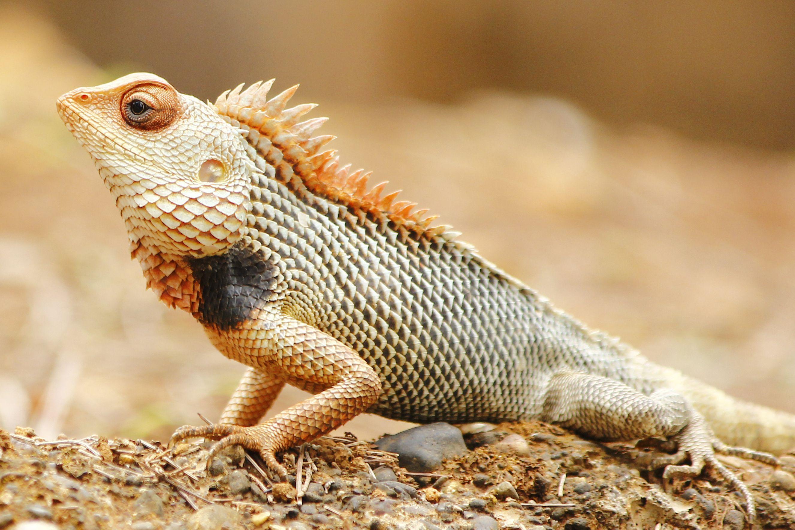 oriental garden lizard | animals, reptiles, old things