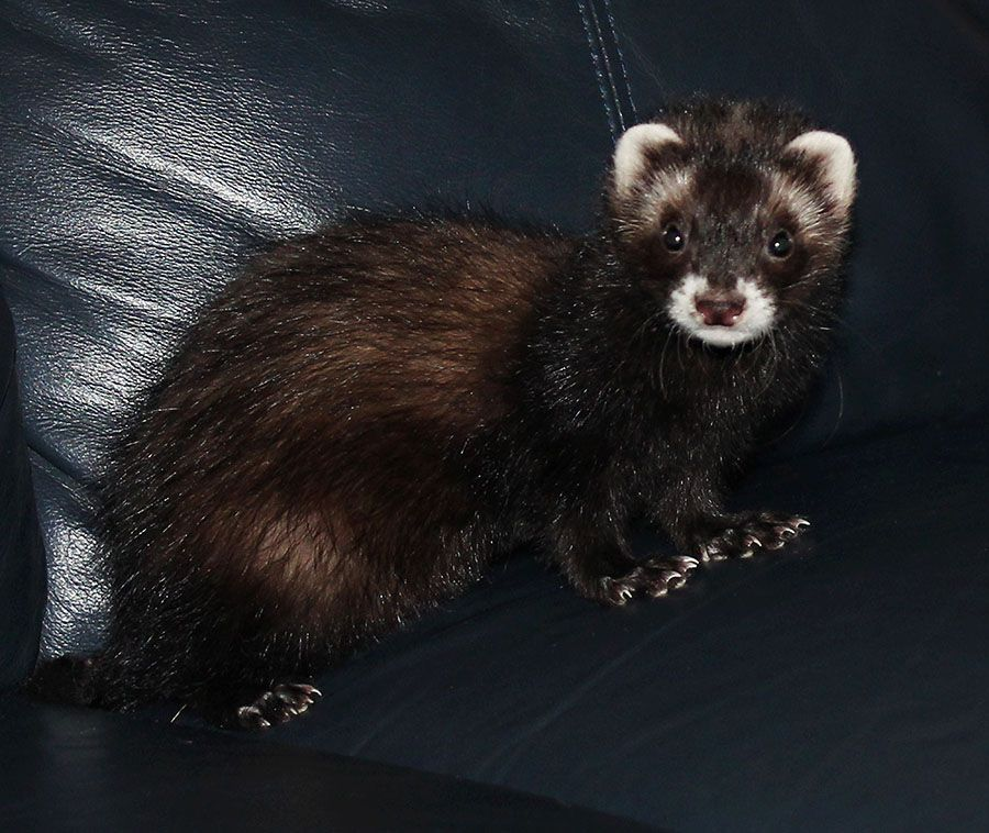 Baby Ferrets For Sale At Petco