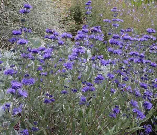 caryopteris x clandonensis 39 heavenly blue 39 also 39 blue. Black Bedroom Furniture Sets. Home Design Ideas