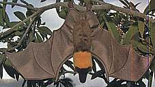 Flying Fox / Fruit Bat Handpuppet
