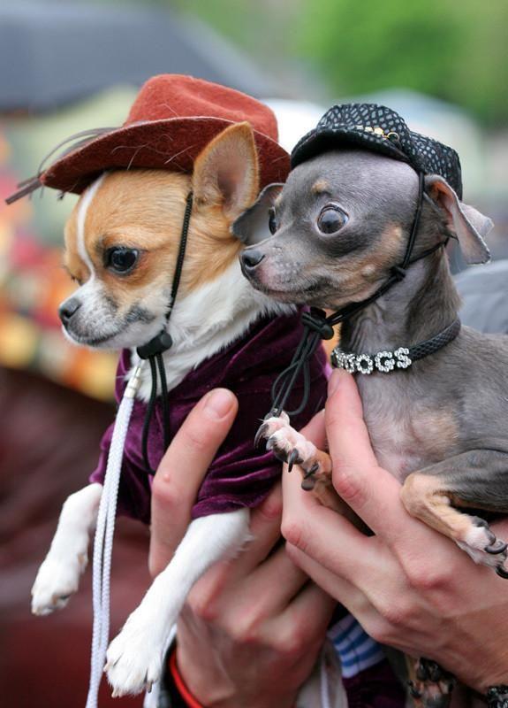 Taco And Belle Mit Bildern Hunderassen Chihuahua Welpen Lustige Tiere