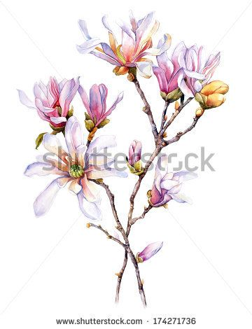 Watercolor With Magnolia Flower Pink Magnolia Drawing Garden Flowers Watercolor Botanical Illustration Watercolor Tree Watercolor Painting Flower Drawing