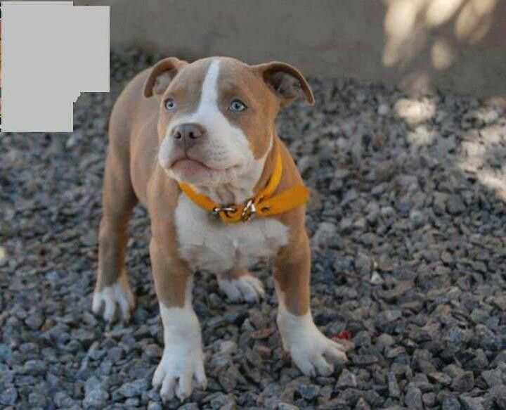 Bull Terrier Red Staffordshire Puppy Nose Blooded Full