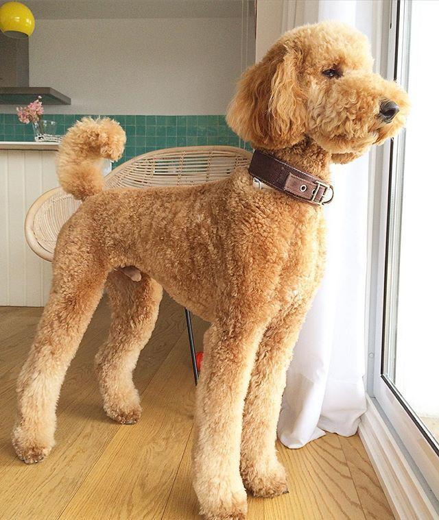 Apricot Standard Poodle Poodle Haircutpoodle Cutsstandard