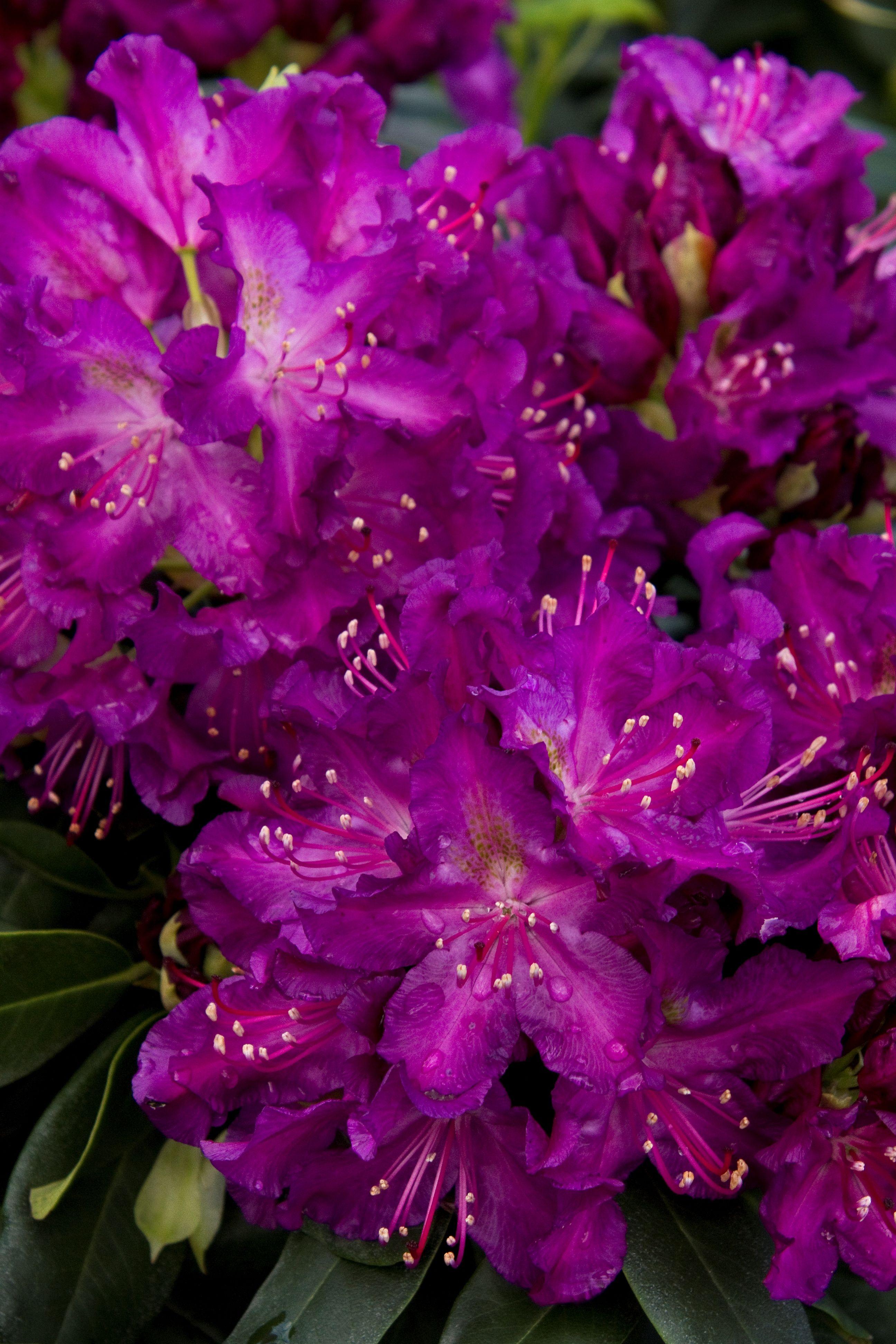 Huskymania Rhododendron Monrovia Huskymania Rhododendron Rhododendron Flowering Vines Monrovia Plants