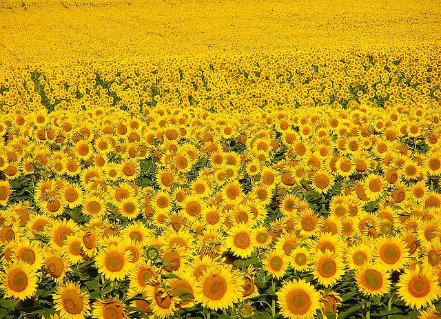 Pin By Luanne Herder On Vuitton Shop North Dakota Sunflower Fields Sunflower
