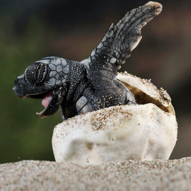 Baby turtle emerging