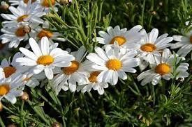 Risultati immagini per fiori di margherite foto