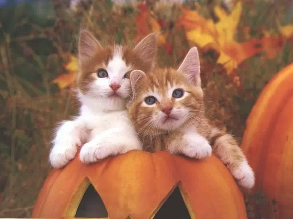 Halloween Kittens Cute Cat Wallpaper Cat Wallpaper Kittens Cutest
