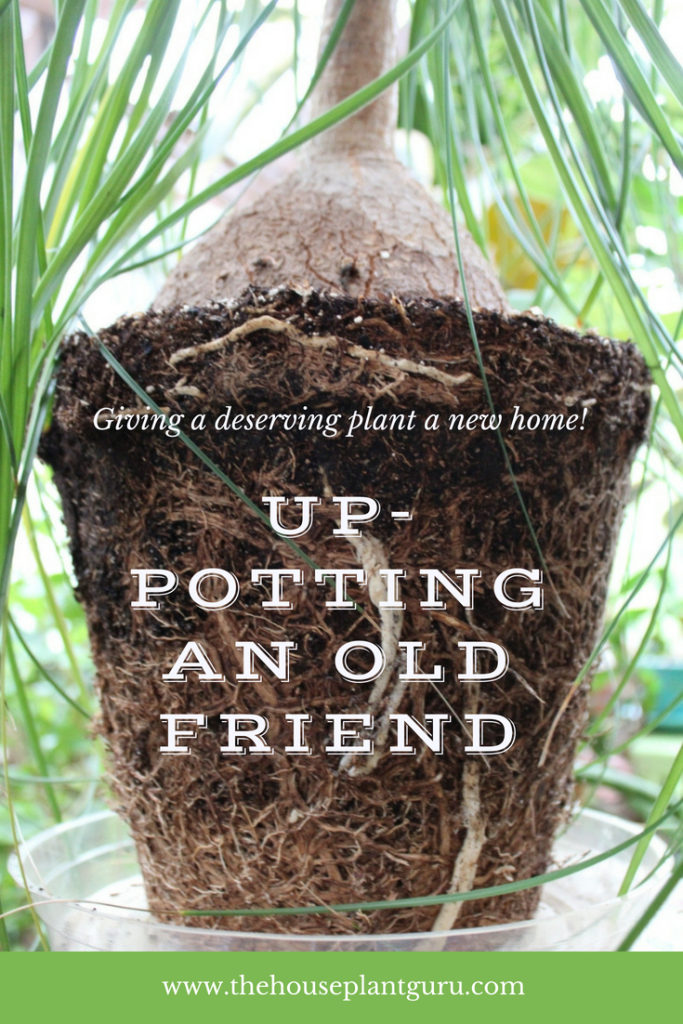Up Potting An Old Friend With Images Container Gardening
