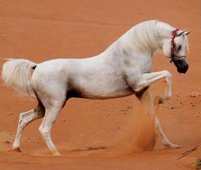 Ajmam Stud stallion