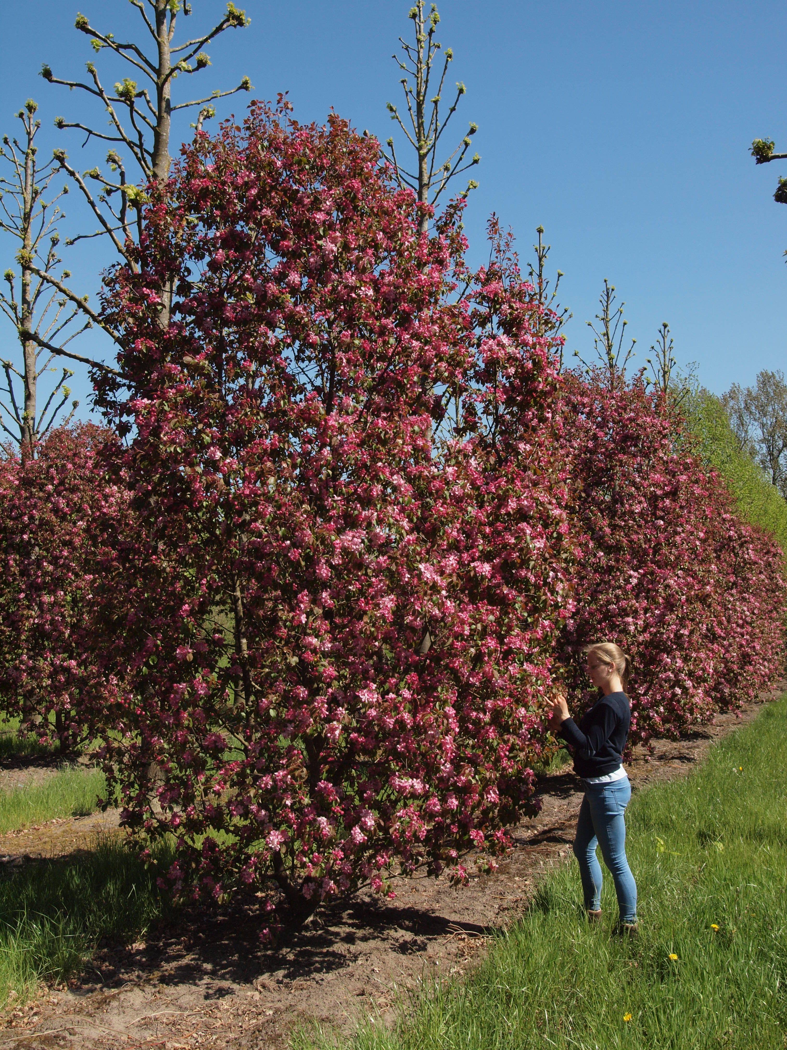 Rosa Bluhende Zierapfel Bei Vf Pflanzen In 2020 Pflanzen Zierapfel Gartengestaltung