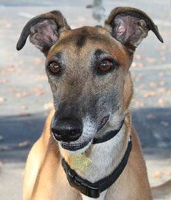 Ghost For Adoption At Gpanashville Org Greyhound Adoption Greyhound Puppy Greyhound