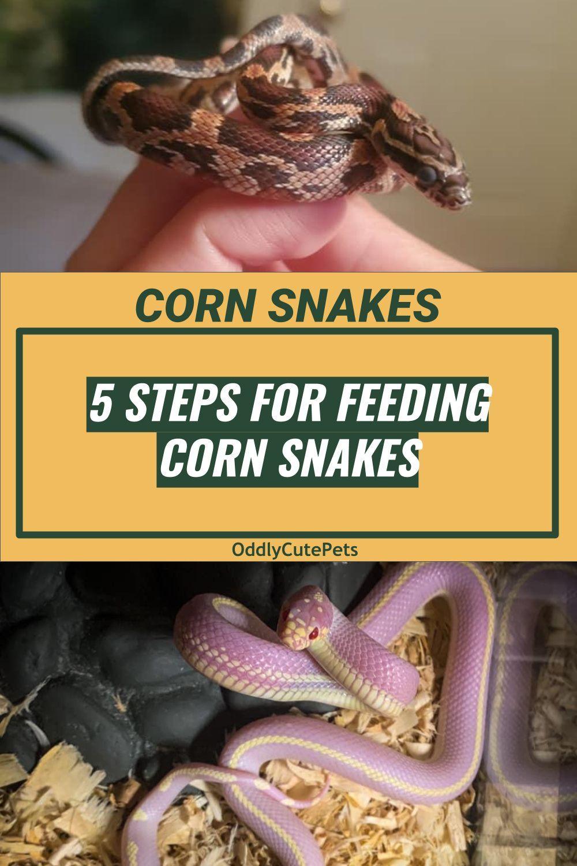 Pin On Corn Snake Care