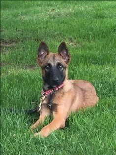Belgian Malinois Puppy For Sale In Burlington Ct Adn 36819 On
