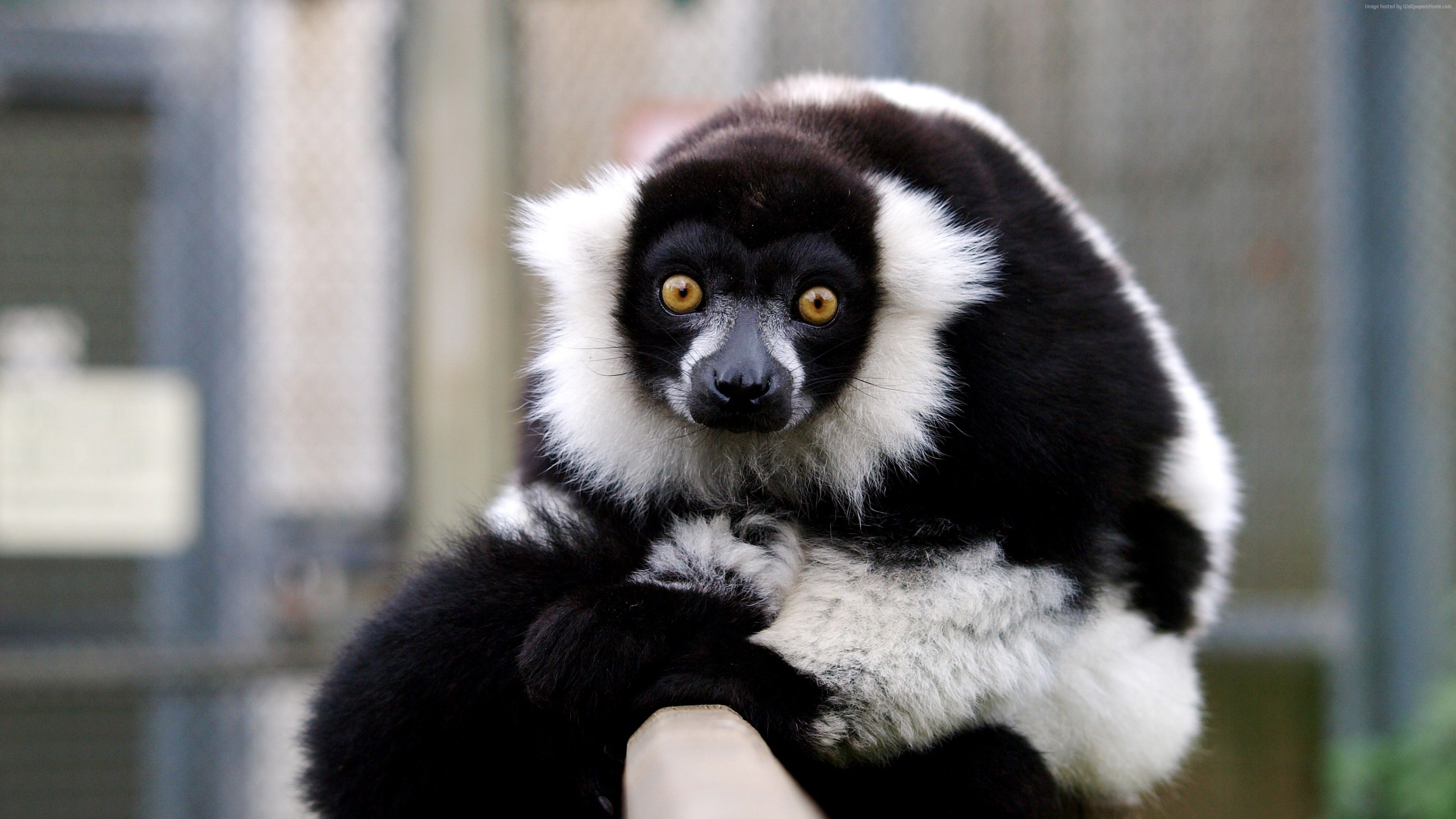 Wallpaper Lemur, Cute Animals, Funny, Animals Httpswwwpxwall