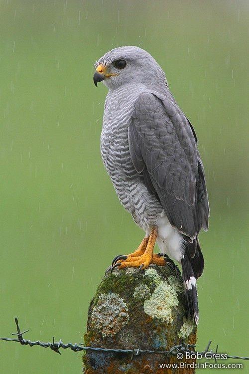 Buteo nitidus grey lined hawk panama birds for Gray hawk