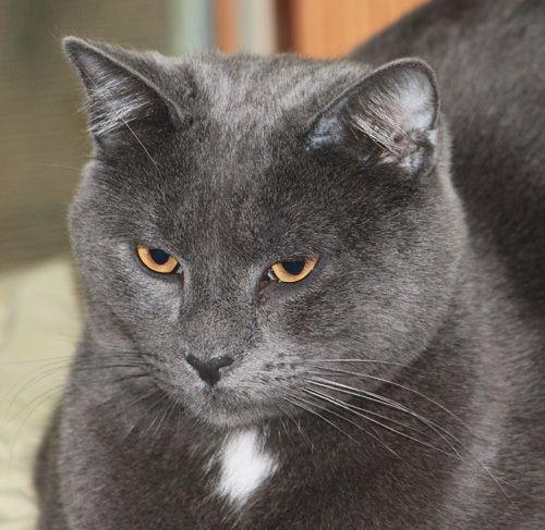 Cubby Russian Blue Cat Richmond Il Russian Blue Pets Russian Blue Cat